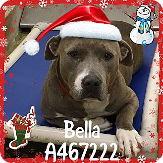 American Pit Bull Terrier Mix Dog for adoption in San Bernardino, California - FINAL HOURS! Moreno Valley