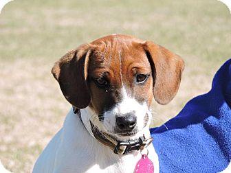 Labrador Retriever/Hound (Unknown Type) Mix Puppy for adoption in Berkeley Heights, New Jersey - Ruth Ann
