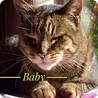 Adopt A Pet :: Mr. Baby - Novato, CA
