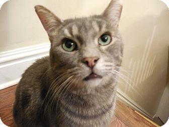 Domestic Shorthair Cat for adoption in Toronto, Ontario - Bill Murray