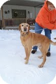 Labrador Retriever Mix Dog for adoption in Lewisville, Indiana - Cody