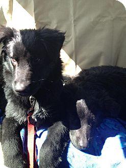 Flat-Coated Retriever/Labrador Retriever Mix Dog for adoption in Youngstown, Ohio - Slugger ~ Adoption Pending