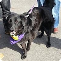 Adopt A Pet :: Cyrus - White River Junction, VT