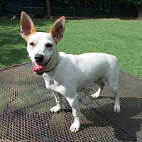 Jack Russell Terrier/Chihuahua Mix Puppy for adoption in Dallas, Texas - Wyman