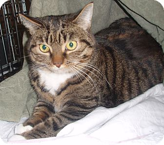 Domestic Shorthair Cat for adoption in Germansville, Pennsylvania - Olivia