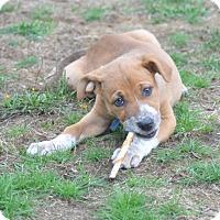 Adopt A Pet :: Chili - Tumwater, WA