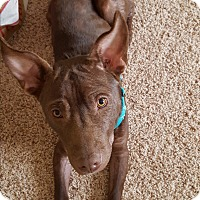 Adopt A Pet :: Choco - Marietta, GA