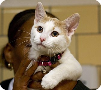 Domestic Shorthair Cat for adoption in Troy, Michigan - Grace