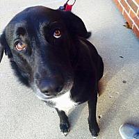 Adopt A Pet :: Buehrle - ST LOUIS, MO