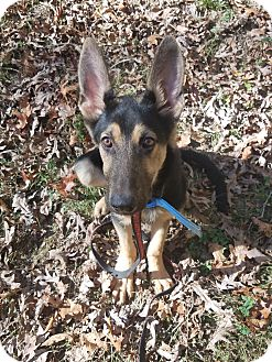 German Shepherd Dog Puppy for adoption in Louisville, Kentucky - Ricky