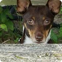 Rat Terrier Dog for adoption in Libertyville, Illinois - Roadie