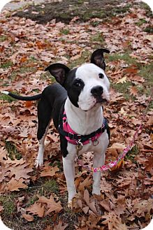 American Pit Bull Terrier Mix Dog for adoption in Fulton, Missouri - Lily - Massachusettes