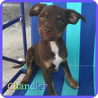 Terrier (Unknown Type, Small) Mix Puppy for adoption in Hollywood, Florida - Chandler