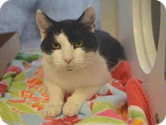 Domestic Shorthair Kitten for adoption in New York, New York - Spot