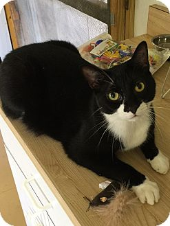 Domestic Shorthair Cat for adoption in Sarasota, Florida - Spook