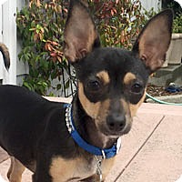 Chihuahua Mix Puppy for adoption in Pacific Grove, California - Oliver