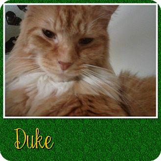 Domestic Longhair Cat for adoption in Cedar Springs, Michigan - Duke