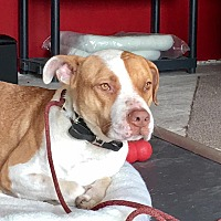 Adopt A Pet :: Ruger Courtesy Post - Phoenix, AZ