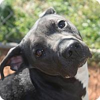 Adopt A Pet :: Sheba - Goodlettsville, TN