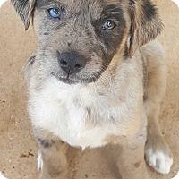 Adopt A Pet :: Catahoula/Lab Mix Female #3 - Dally - Crosbyton, TX