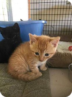 Domestic Shorthair Kitten for adoption in Freeport, Florida - Yellowstone