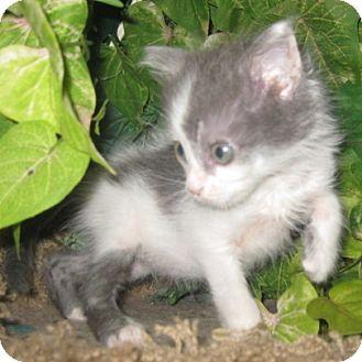 Turkish Angora Kitten for adoption in Dallas, Texas - SG1