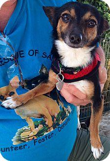 Chihuahua Mix Dog for adoption in San Diego, California - Blaze