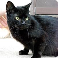 Domestic Shorthair Cat for adoption in Columbus, Ohio - Midnight