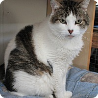 Domestic Shorthair Cat for adoption in Colville, Washington - Marco Polo