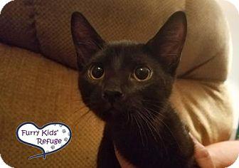 Domestic Shorthair Kitten for adoption in Lee's Summit, Missouri - Hermione