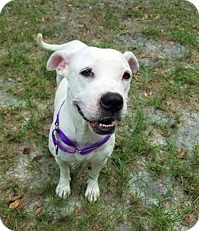Boxer Mix Dog for adoption in Umatilla, Florida - Gabriel