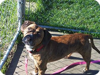 Beagle/Staffordshire Bull Terrier Mix Dog for adoption in Janesville, Wisconsin - Harley