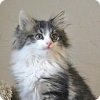 Adopt A Pet :: Tom Kitten - Davis, CA