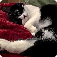 Domestic Shorthair Cat for adoption in Negaunee, Michigan - Mimi