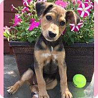 Adopt A Pet :: Trix - Little Rock, AR