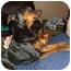 Photo 2 - Miniature Pinscher Dog for adoption in Florissant, Missouri - Addie