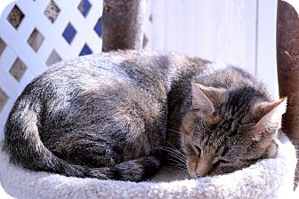 Domestic Shorthair Cat for adoption in Chicago, Illinois - Phyllida