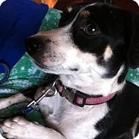 Adopt A Pet :: Sweet Pea - Fountain, CO