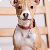 Adopt A Pet :: Phoebe - Portland, OR