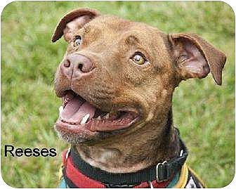 American Pit Bull Terrier Dog for adoption in Norfolk, Virginia - Reeses