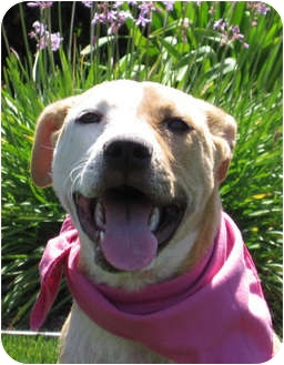 Pit Bull Terrier/Shepherd (Unknown Type) Mix Puppy for adoption in Encinitas, California - Daisy