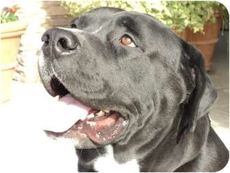 American Bulldog/Labrador Retriever Mix Dog for adoption in Fresno, California - Tank