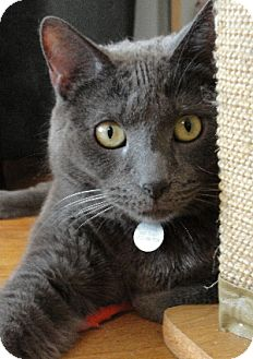 Domestic Shorthair Cat for adoption in Chicago, Illinois - Ducky