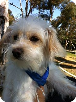 Maltese/Poodle (Miniature) Mix Puppy for adoption in Irvine, California - GYPSY
