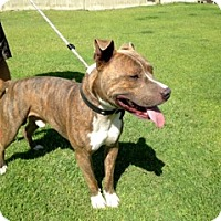Adopt A Pet :: MIDAS.URGENT - Sacramento, CA