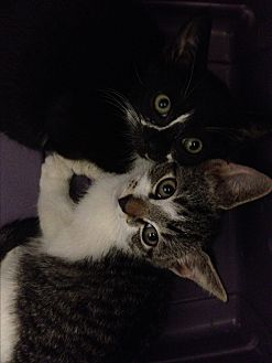 Domestic Shorthair Kitten for adoption in Sunny Isles Beach, Florida - Stitch