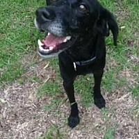 Labrador Retriever/Beagle Mix Dog for adoption in Wilmington, North Carolina - CEELO