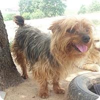 Adopt A Pet :: Molly - Oakton, VA