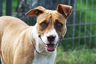 Boxer/Staffordshire Bull Terrier Mix Dog for adoption in Hankamer, Texas - Betty