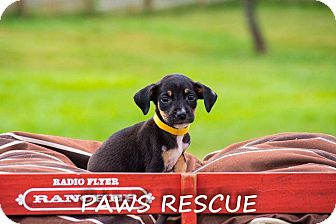 Shepherd (Unknown Type)/Labrador Retriever Mix Puppy for adoption in Forest Hill, Maryland - Dani
